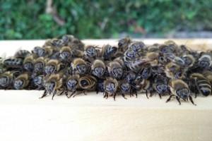 abeilles ruche